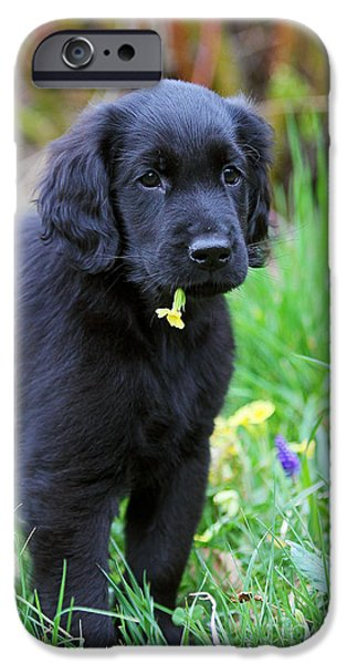 Dog Photos iPhone Cases - Black Flat Coated Retriever puppy with yellow blossom iPhone Case by Dog Photos