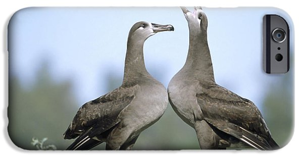 Wildlife Celebration iPhone Cases - Black-footed Albatross Courtship Dance iPhone Case by Tui De Roy