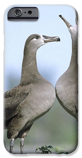 Black-footed Albatross Courtship Dance iPhone Case by Tui De Roy