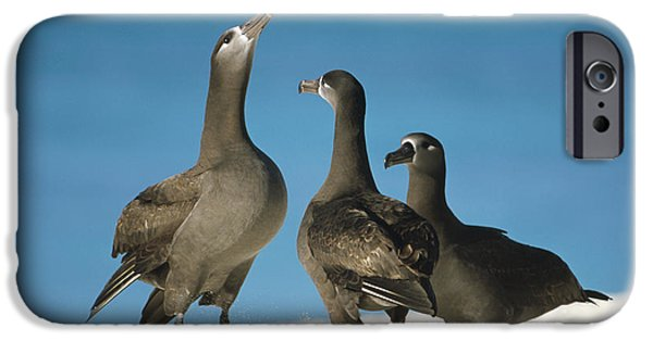 Wildlife Celebration iPhone Cases - Black-footed Albatross Gamming Group iPhone Case by Tui De Roy