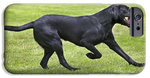 Dog Playing Ball iPhone Cases - Black Labrador Playing iPhone Case by Johan De Meester