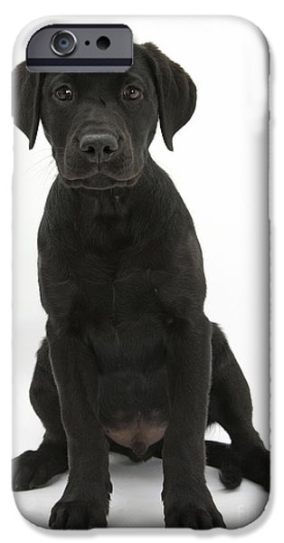 Cute Puppy iPhone Cases - Black Labrador Retriever Pup iPhone Case by Mark Taylor