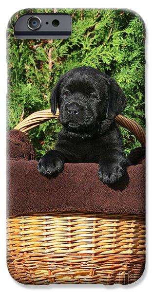 Dog Photos iPhone Cases - Black Labrador Retriever puppy in a basket iPhone Case by Dog Photos