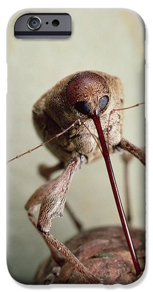 Magnification iPhone Cases - Black Oak Acorn Weevil Boring Into Acorn iPhone Case by Mark Moffett