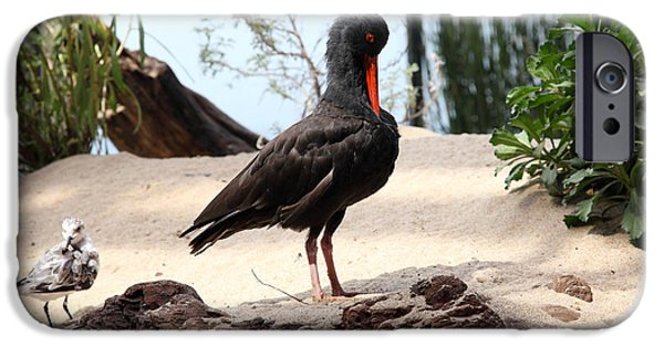 Seagull iPhone Cases - Black Oystercatcher 5D25102 iPhone Case by Wingsdomain Art and Photography
