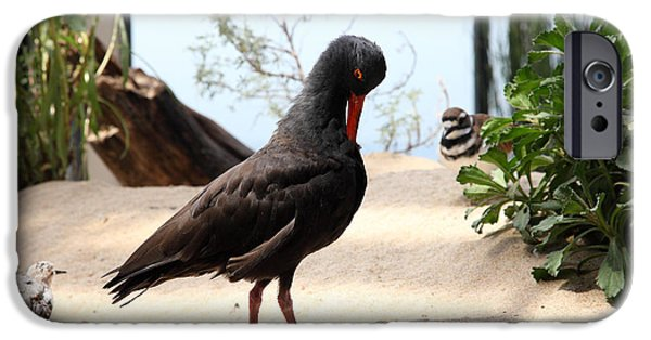 Seagull iPhone Cases - Black Oystercatcher 5D25104 iPhone Case by Wingsdomain Art and Photography
