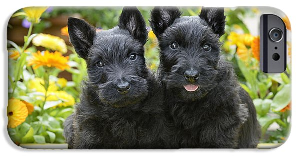 Scottish Terrier Puppy iPhone Cases - Black Scotties iPhone Case by Greg Cuddiford