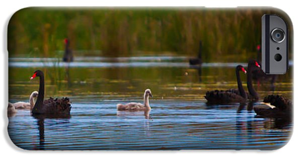 Swans... iPhone Cases - Black Swan Family iPhone Case by Alexander Whadcoat