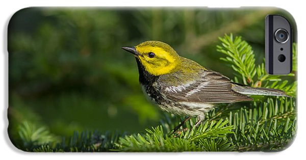 Warbler iPhone Cases - Black-throated Green Warbler iPhone Case by Mircea Costina Photography