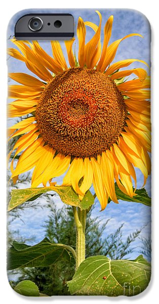 Stamen Digital iPhone Cases - Blooming Sunflower V2 iPhone Case by Adrian Evans