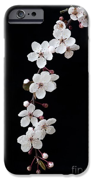 Fruit Tree iPhone Cases - Blossom on Black iPhone Case by Tim Gainey