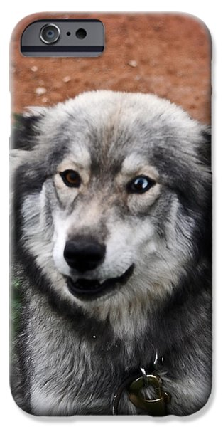 Husky Mixed Media iPhone Cases - Blue and Brown Eyed Husky iPhone Case by Michael Braham