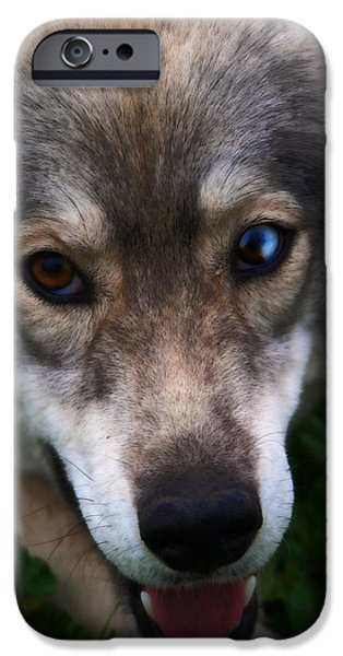 Husky Mixed Media iPhone Cases - Blue and Brown Eyed Husky - Series II iPhone Case by Michael Braham
