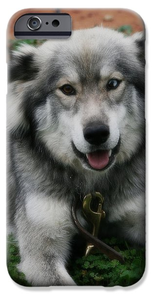 Husky Mixed Media iPhone Cases - Blue and Brown Eyed Husky - Series VI iPhone Case by Michael Braham