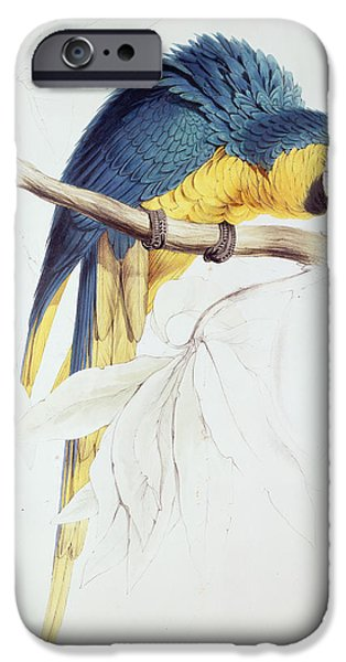 Blue and Yellow Macaw iPhone Case by Edward Lear