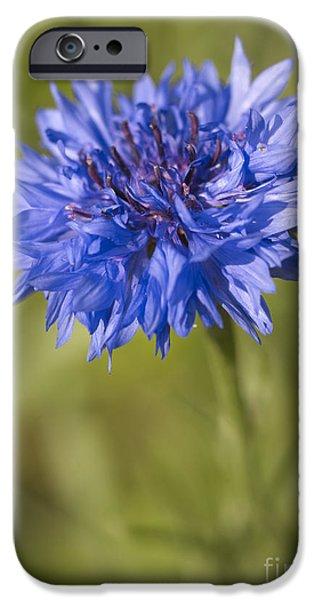 Echinacea iPhone Cases - Blue Cornflower iPhone Case by Tony Cordoza