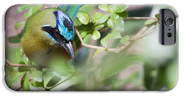 Smithsonian Photographs iPhone Cases - Blue-Crowned Motmot iPhone Case by Rebecca Sherman