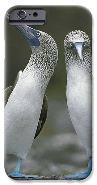 Blue Footed Booby Dancing iPhone Case by Tui De Roy