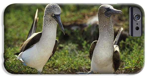Wildlife Celebration iPhone Cases - Blue-footed Booby Pair In Courtship iPhone Case by Tui De Roy