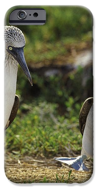 Blue-footed Booby Pair In Courtship iPhone Case by Tui De Roy