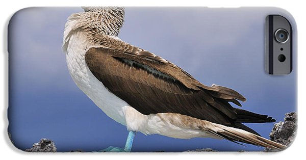 Boobies iPhone Cases - Blue-footed Booby iPhone Case by Tony Beck