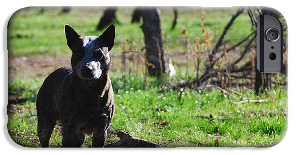 Overo iPhone Cases - Blue Heeler iPhone Case by Thea Wolff
