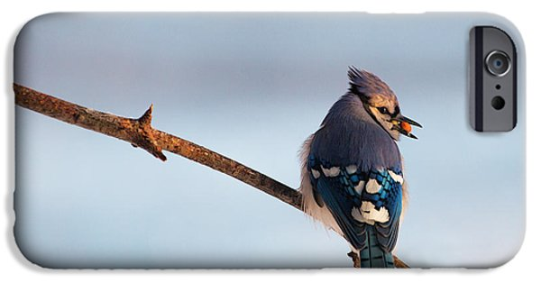 Blue Jay iPhone Cases - Blue Jay with nuts iPhone Case by Everet Regal