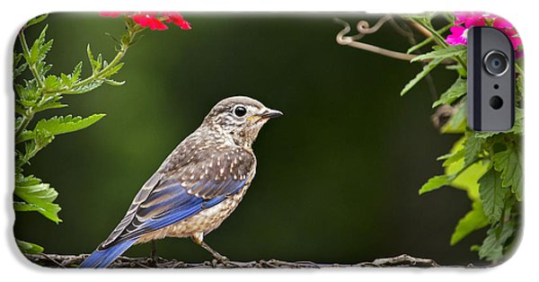 Wild Animals iPhone Cases - Bluebird Chick iPhone Case by Christina Rollo