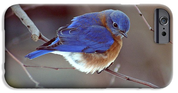 Fauna iPhone Cases - Bluebird in Winter iPhone Case by Karen Adams
