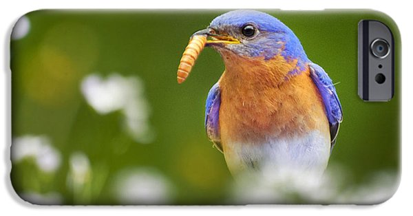 Bluebird iPhone Cases - Bluebird with Worm Square iPhone Case by Christina Rollo