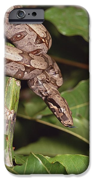 Boa Constrictor iPhone Cases - Boa Constrictor Coiled South America iPhone Case by Gerry Ellis