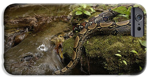 Boa Constrictor iPhone Cases - Boa Constrictor Crossing Stream iPhone Case by Pete Oxford