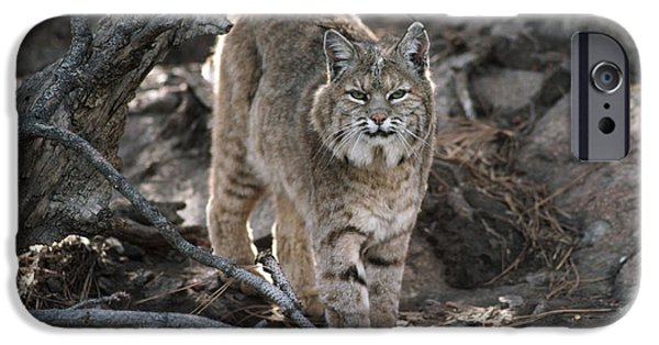 Lynx Rufus iPhone Cases - Bobcat Adult Portrait Montana iPhone Case by Tim Fitzharris