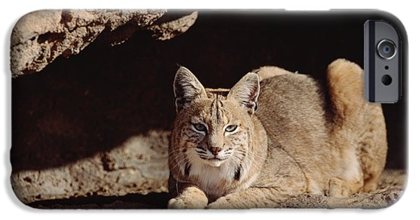 Lynx Rufus iPhone Cases - Bobcat Adult Resting On Rock Ledge iPhone Case by Tim Fitzharris
