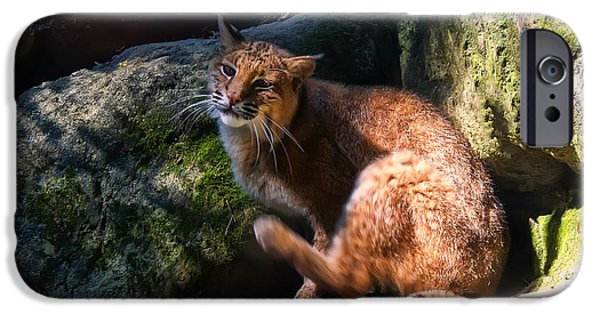 Lynx Rufus iPhone Cases - Bobcat grooming itself iPhone Case by Chris Flees