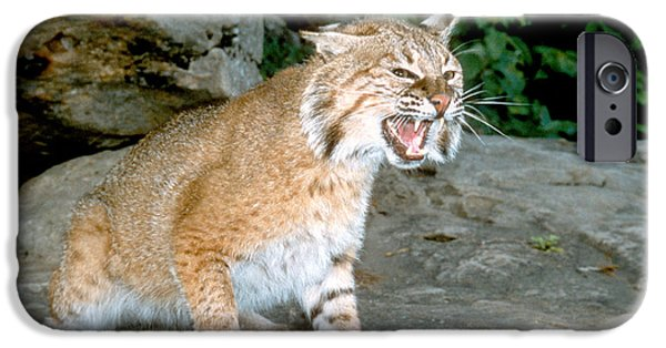 Bobcat Kittens iPhone Cases - Bobcat in Defense Mode  iPhone Case by Larry Allan