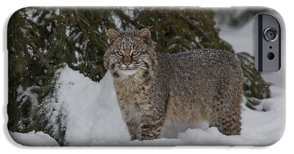 Bobcat Kittens iPhone Cases - Bobcat in the Snow iPhone Case by Chris Montano Jr
