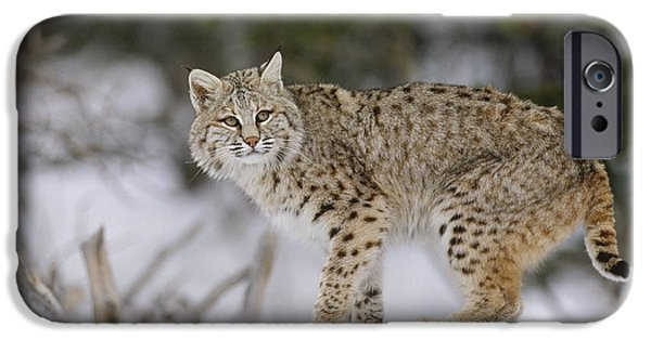 Lynx Rufus iPhone Cases - Bobcat In Winter Colorado iPhone Case by Konrad Wothe