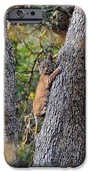 Bobcat Kittens iPhone Cases - Bobcat Kitten iPhone Case by Aaron Wages