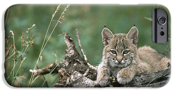 Lynx Rufus iPhone Cases - Bobcat Kitten Resting On A Log Idaho iPhone Case by Michael Quinton