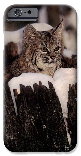 Bobcat Kitten iPhone Case by Ron Sanford