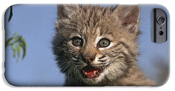 Bobcat And Kittens iPhone Cases - Bobcat Kitten iPhone Case by Tim Fitzharris