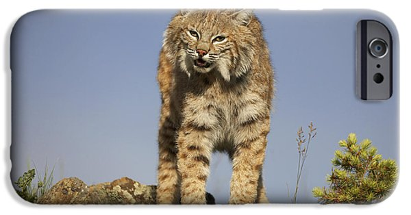 Lynx Rufus iPhone Cases - Bobcat North America iPhone Case by Tim Fitzharris