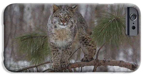 Bobcat Kittens iPhone Cases - Bobcat on Branch iPhone Case by Chris Montano Jr
