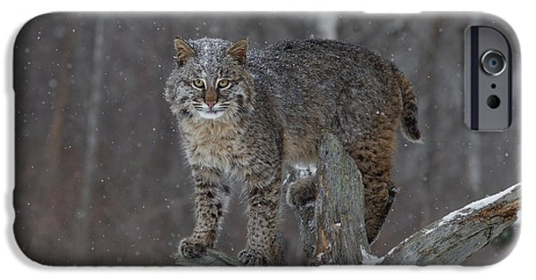 Bobcat Kittens iPhone Cases - Bobcat on Tree iPhone Case by Chris Montano Jr