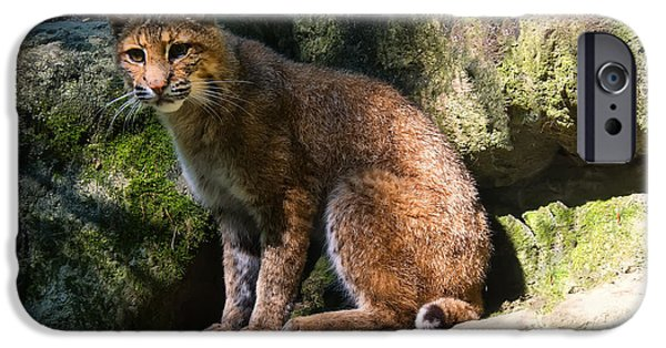 Lynx Rufus iPhone Cases - Bobcat resting on rocks iPhone Case by Chris Flees