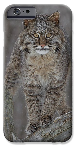 Bobcat Kittens iPhone Cases - Bobcat Staredown iPhone Case by Chris Montano Jr