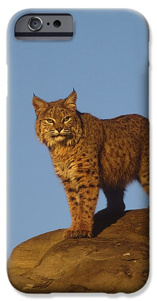 Lynx Rufus iPhone Cases - Bobcat iPhone Case by Tom Vezo