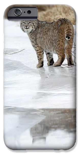 Animals iPhone Cases - Bobcat-wildlife-image 14 iPhone Case by Wildlife Fine Art