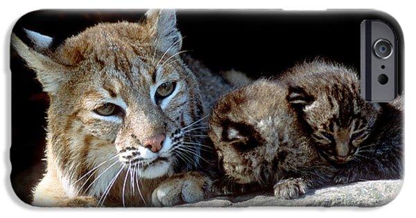 Bobcat Kittens iPhone Cases - Bobcats Maternal Moment iPhone Case by Larry Allan